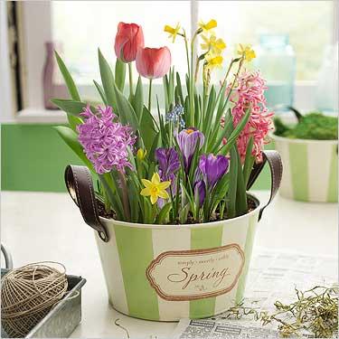 Весенние цветы в горшках купить дорогой подарок женщине от коллектива